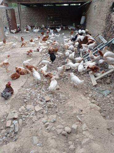 Животные - Садовое (ГЭС-3): Продаются куры несушки Хайсекс Браун Доминант Хайлайн соня