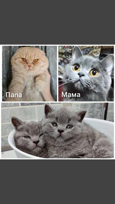Животные - Бишкек: Открыта бронь на шотландских котят2 мальчика -страйта .Родились