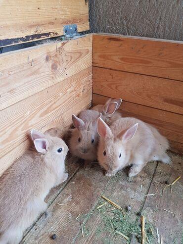 Животные - Мыкан: Карликовые декоративные кролики (львиноголовые),хороший подарок