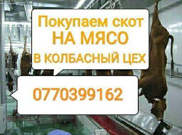 Бараны романовской породы купить - Кыргызстан: Куплю скот в колбасный цех в любом виде приедем сами