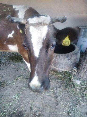 Животные - Орловка: Продаю | Корова (самка) | Для молока
