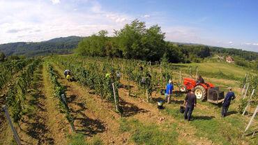 Prokuplje - Srbija: Grozdje prodajem.  -Game -Pinot noar -Sauvignon Blanc -Cabernet sauvig