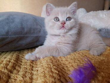 Βρετανικά γατάκια ShorthairViber +Όμορφα βρετανικά γατάκια σταυρού