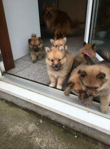 Έχετε 6 κουτάβια Pomeranian που έχουν μεγαλώσει σε ένα αγαπημένο
