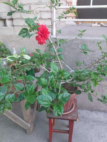Китайская роза цветут круглый год