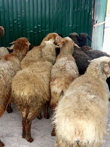 Продаю | Овца (самка) | Эдильбаевская | Для разведения | Котные