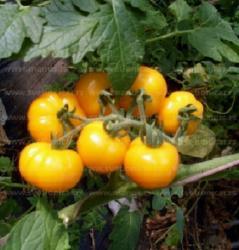 Na prodaju 10 semenki žute bundevice paradaiza savršeno izgleda isto - Uzice