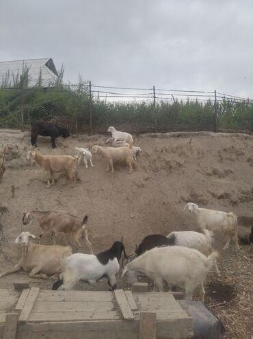 32 объявлений   ЖИВОТНЫЕ: Продаю   Коза (самка), Козёл (самец), Козлёнок   Зааненская, Нубийская, Битал   Для разведения, Для молока   Котные