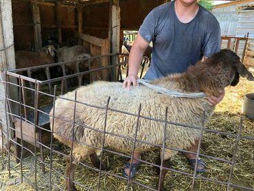 С/х животные в Кыргызстан: Продаю барана 2 года