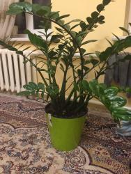 Другие комнатные растения - Кыргызстан: Продаю долларовое дерево, высота 1 метр. В новом дорогом горшке, с