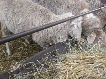 Продаю | Овца (самка) | Меринос | Для разведения, Для шерсти | Племенные