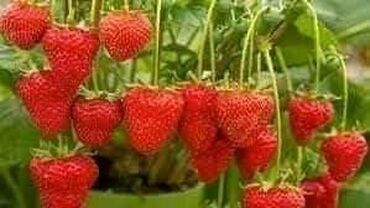 Stalnorađajuće jagode mesečarke Cena:1000din/100 semenki