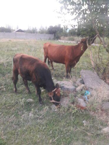 Животные - Таш-Мойнок: Продается тёлка 8 месяцев порода швиц мать породы англер асминение про