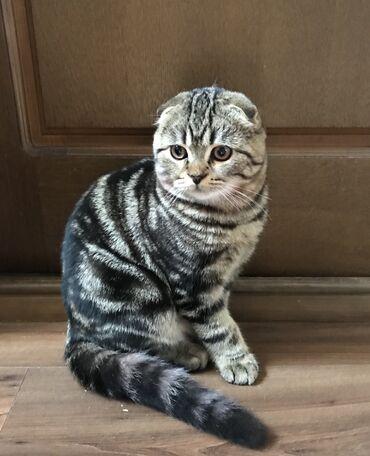 Шикарный котик, шотландец (скотиш фолд), 4 мес, с отличными породными