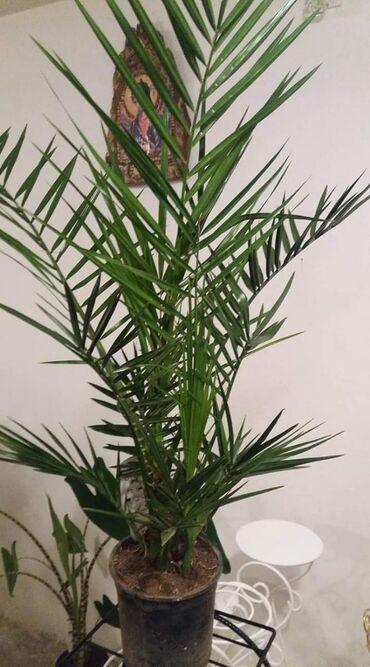 Zenska torbica sirine cm visine cm - Srbija: Fenix palma90 cm . visine