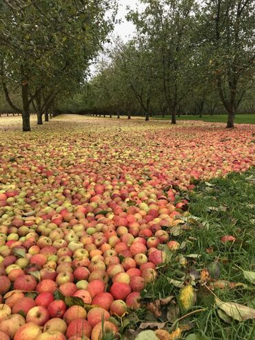 52 объявлений: Продам яблоки оптом!!!  Звонить и интересоваться по указанному номеру