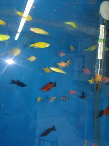 Яркие аквариумные рыбки центр Сокулука в Сокулук