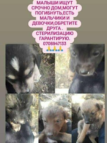 Собаки - Кыргызстан: 9 мальчиков и 4 девочки (девочкам стерелизацию по 7-8 месяцев гаранти