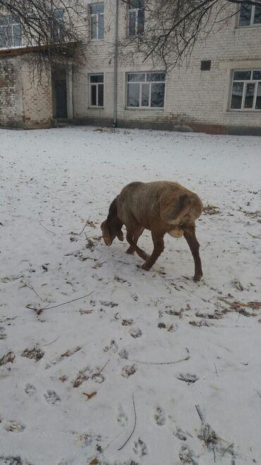 С/х животные - Кыргызстан: Продаю гисарских ягнят пети месячных