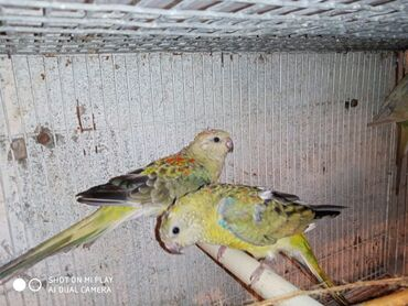 Птицы - Азербайджан: Pevci papuqayları şarkıcı tutuquşuları satılır və dəyişdirilirMaya