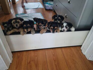 Μικροσκοπικά κουτάβια Yorkshire Terrier κουτάβιαΘα είναι 4-7 κιλά