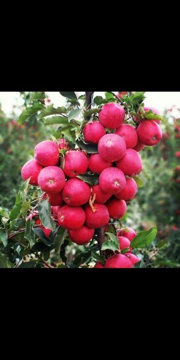 baglar - Azərbaycan: Turkiyeden getirilmis intensiv baglar ucun qoz badam gilas nektarin