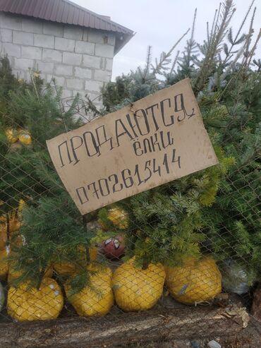 белорусские платья в розницу в Кыргызстан: Продаются ёлки, голубые ели, пихты, саженцы, берёза оптом и в розницу