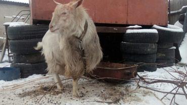 Продается Породистый козёл!!!для в Лебединовка