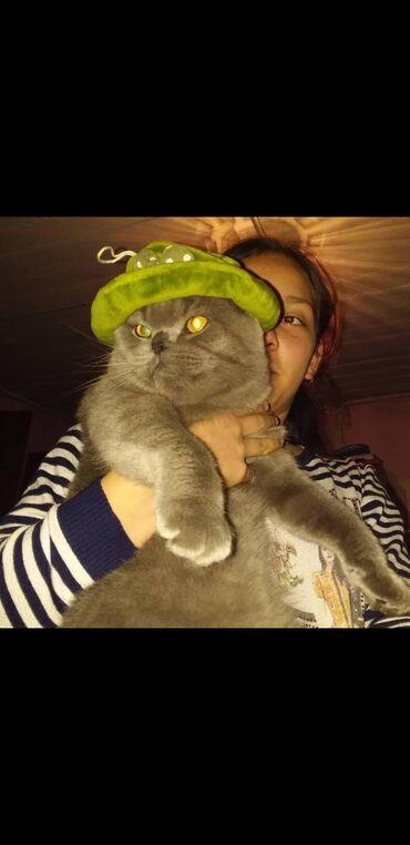 Кот на вязку. Молодой котик породистый скотиш фолд вислоухий