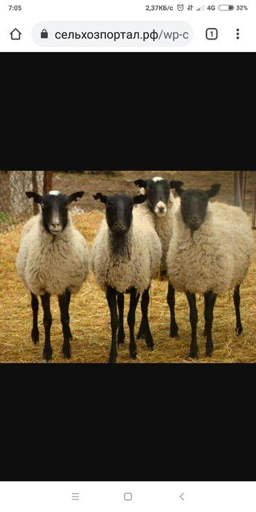 31 объявлений | ЖИВОТНЫЕ: Продаю | Овца (самка), Ягненок | Романовская | Для разведения | Племенные, Осеменитель, Матка
