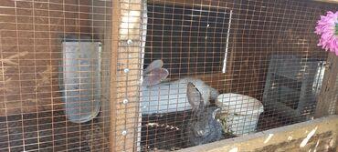 кролики бишкек in Кыргызстан   ДЕКОРАТИВНЫЕ КРОЛИКИ: Кролики