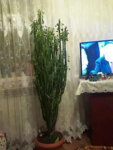 Продаётся очень красивое большое комнатное растение!!!