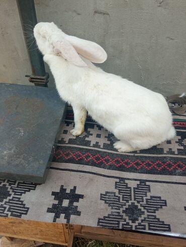 Декоративные кролики - Кыргызстан: Великан самка 7 месяцев