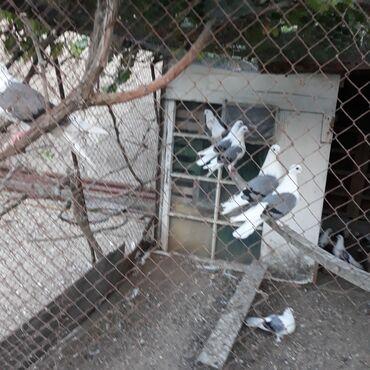 niva tekeri satilir - Azərbaycan: Nikolaevck sortu goy cepler satilir,bir ailedi,esen quwlardi,qiymet
