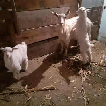 Куплю козу дойную - Кыргызстан: Продаю   Коза (самка), Козлёнок   Зааненская   Для разведения   Племенные