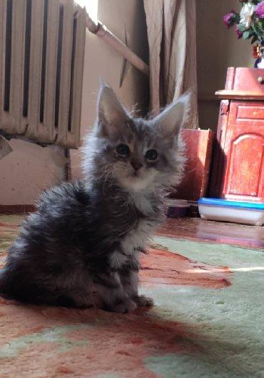 японская порода кошек в Кыргызстан: Продаётся девочка чёрный мрамор на серебре, очень красивая девочка