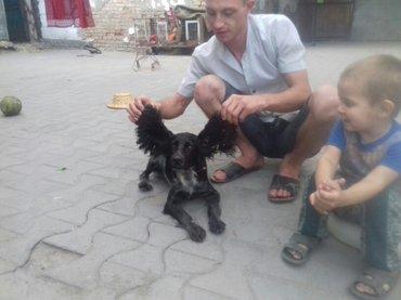 Готовятся щенки русского спаниэля к продаже. в Бишкек
