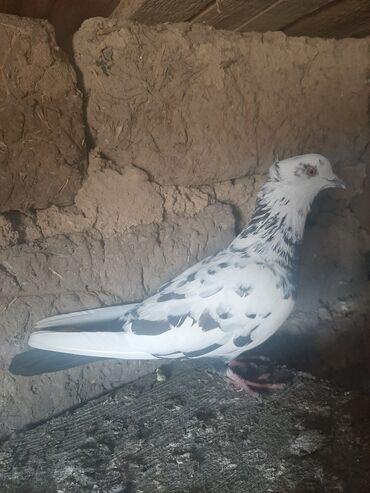 Птицы - Азербайджан: Птицы