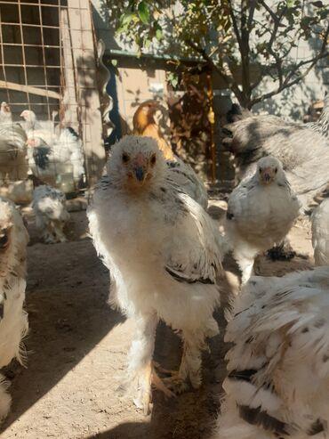 32 объявлений | ЖИВОТНЫЕ: Продаю | Цыплята | Брама