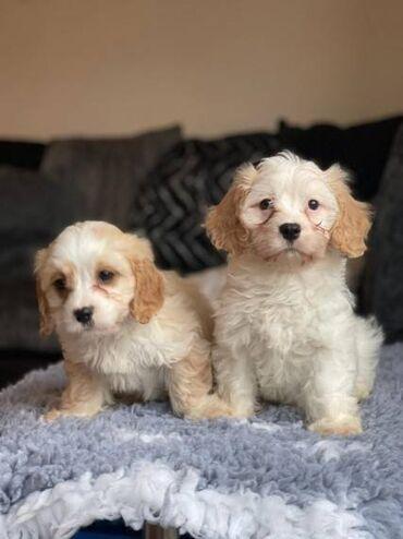6 Beautiful Cavachon PuppiesBeautiful Cavachon puppies are ready to go