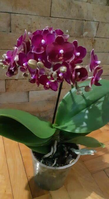 Midi orhideje