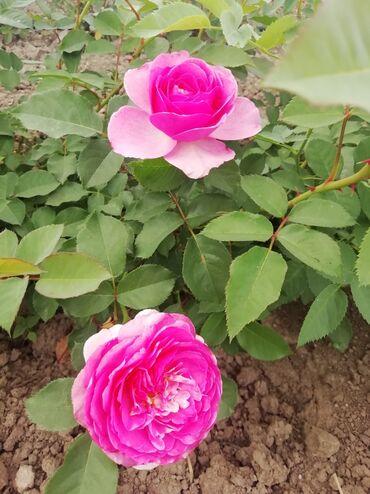 Kuća i bašta - Odzaci: Poleguša, ljubičasto-rozaSadnice su dvogodišnjeZa veću količinu cena