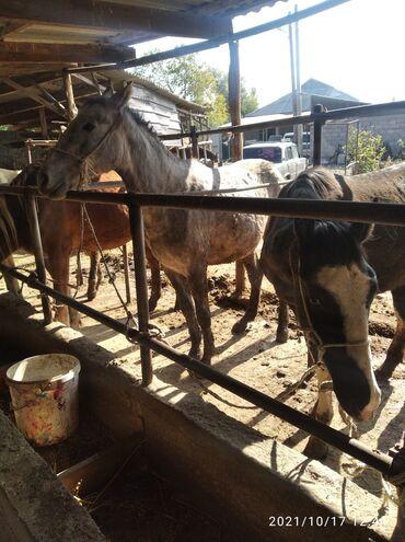 квартиры в кара балте in Кыргызстан | ПРОДАЖА КВАРТИР: Продаю | Кобыла (самка) | На забой
