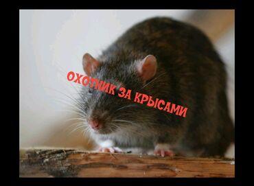 Охотник за крысами