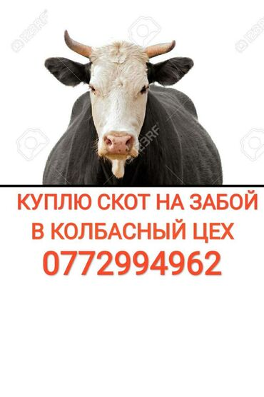вакцины для животных в Кыргызстан: Куплю | Коровы, быки | На забой, на мясо