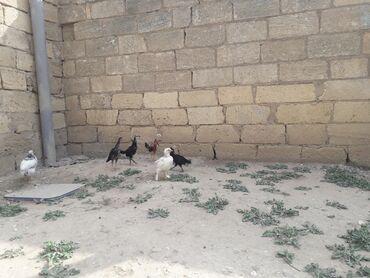 1 aylıq heyratı cücələr biri 8 manataünvan Qobustan rayonu