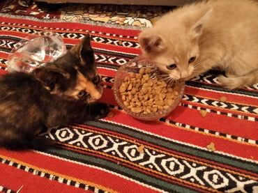 Животные - Кок-Джар: Отдам маленьких котят в хорошие руки