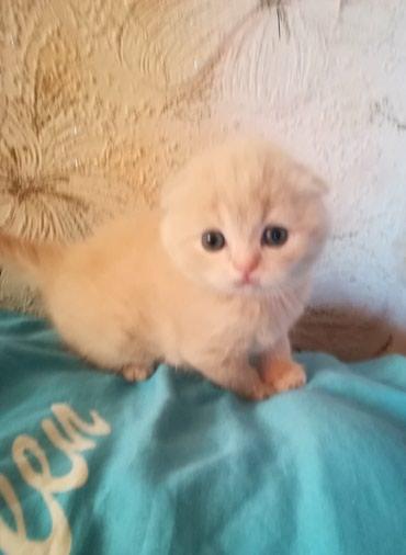 Кошка Скотишь Фолд в Бишкек
