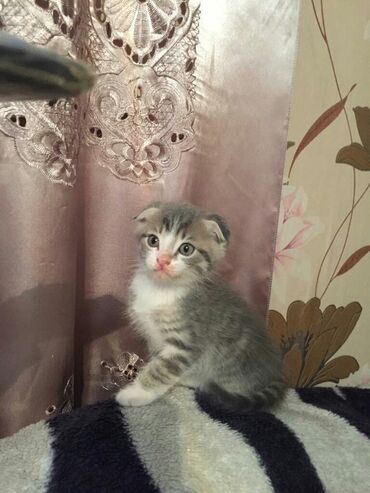 шотландская прямоухая в Кыргызстан: Вислоухие котята шотландской породы,1месяц 3недели,без