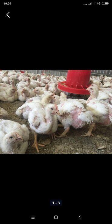 Бролер 14 дней 120 сом. Домашние цыплята 30 дней 150 сом